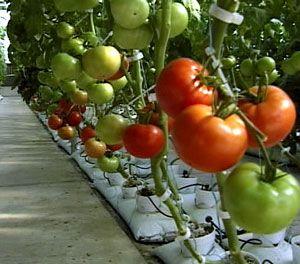 امکان سنجی( طرح توجیهی ) تولید محصولات گلخانه ای