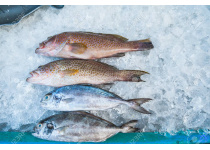 76330935-high-angle-still-life-of-variety-of-raw-fresh-fish-chilling-on-bed-of-cold-ice-in-seafood-market-sta